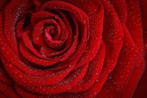 Rose, Red, Fleur, Nature, Jardin, Macro, Plantes